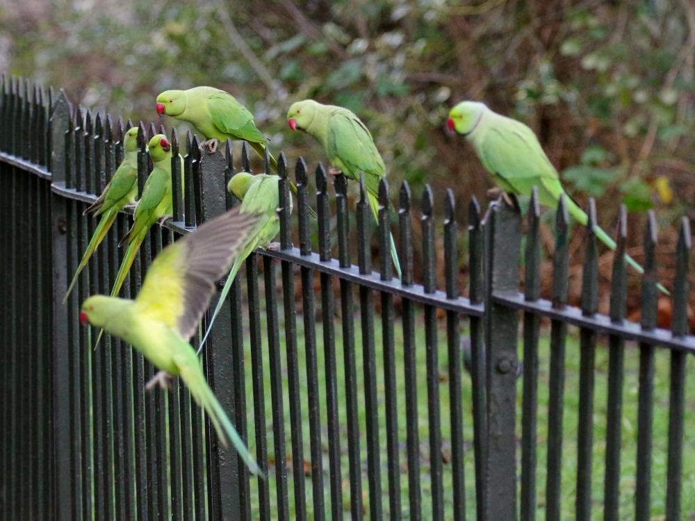 London's Posh Pigeons
